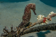 Sea horse In The Red Sea Colorful And Beautiful, Eilat Israel