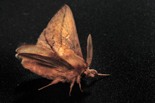 Night Moth. These Are Butterflies, Sobi Have A Thin Body And Relatively Long Legs. Butterflies Are Crepuscular And Nocturnal.Selective Focus. Close-up Photo, Shallow Depth Of Field, Blured Background