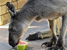 Kangaroos In The Wild Western ...