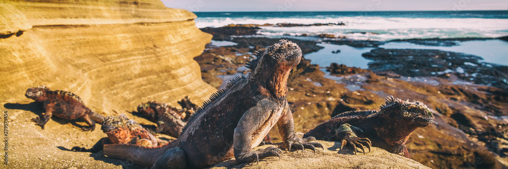 Fototapeta Galapagos Iguana lying in the sun on rock. Marine iguana is an endemic species in Galapagos Islands Animals, wildlife and nature of Ecuador.