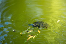 Small Red-eared Turtle Swimming In The Water, Making Swirls And Splashes