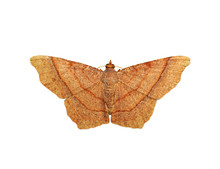Image Of Brown Butterfly(Moth) Isolated On White Background. Insect. Animals.