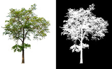 Single Tree With Clipping Path...