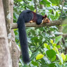 Malabar Giant Squirrel (Ratufa...