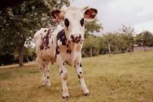 Jeune Vache Normande Tachetée Dans Un Pré En été