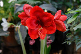 Beautiful red hippeastrum, amaryllis flowers in the garden. A beautiful bouquet of flowers. Dutch flowers. Beautiful composition.