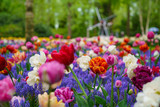 Fototapeta Tulipany - Beautiful exotic tulip flowers cultivated in Netherlands garden
