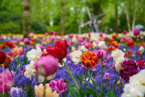Staande foto Tulp Beautiful exotic tulip flowers cultivated in Netherlands garden