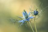 Fototapeta Kwiaty - Czarnuszka Damasceńska