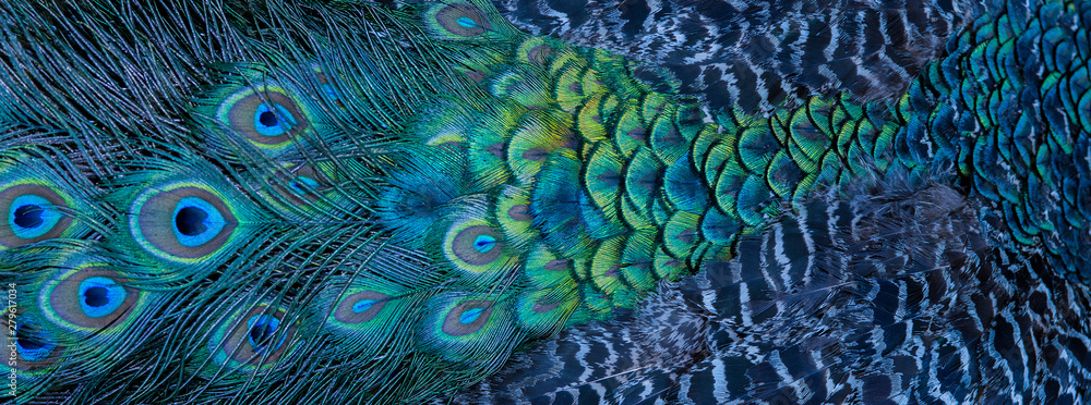 Fototapety, obrazy: Blue peacock feathers in closeup