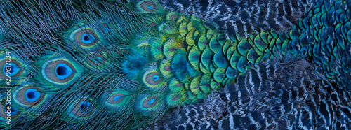 Blue peacock feathers in closeup