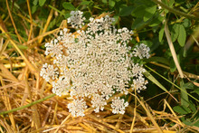 Daucus Carota Single Flower In Front Of Straw, Wild Carrot Or Birds Nest Or Bishops Lace Or Queen Annes Lace Plant In July