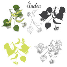 Linden Branch. Hand Drawn Vector Set, Isolated Floral Elements For Design On White Background.