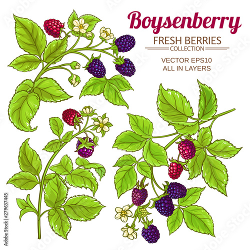 boysenberry vector set Fototapeta