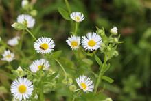Erigeron Annuus, Annual Fleabane, Daisy Fleabane, Or Eastern Daisy Fleabane