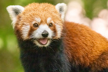 Red Panda In Close Up