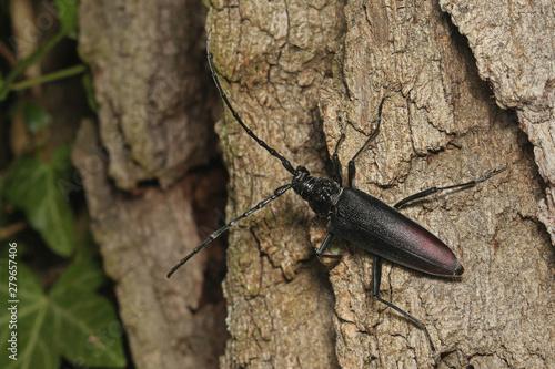 Valokuvatapetti Female of a great capricorn beetle sitting on the oak bark