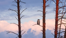 The Horned Owl Sits On A Pine ...