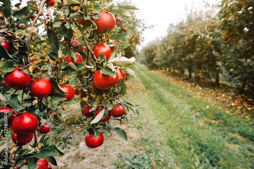 Foto Organic apples hanging from a tree branch in an apple orchard