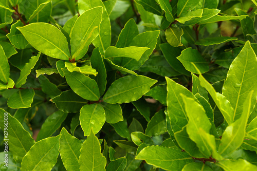 Photo  Organic laurel tree with bay leaves in garden