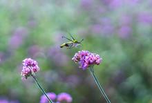 An Hummingbird Hawk-moth (Macroglossum Stellatarum) Feeding Nectar From The Verbena Flower Field.