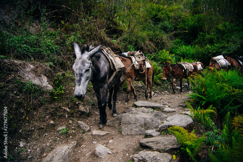 Canvas Print donkey laden with a load against the backdrop of beautiful naturel in Nepalese Himalayas