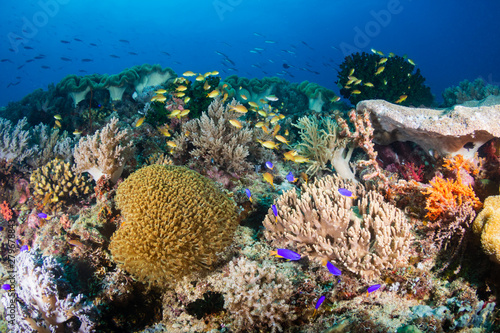 Tropical fish around a colorful, healthy coral reef in the Coral Triangle (Philippines)