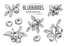Sketch Of Blueberry. Hand Draw...