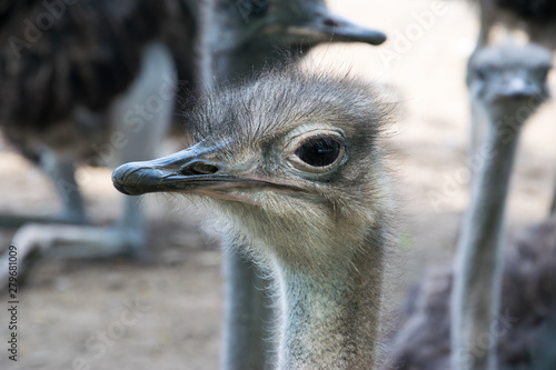 Foto auf Gartenposter Straus Close up Ostrich (head)