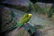 Two Budgerigars Sitting On Roc...