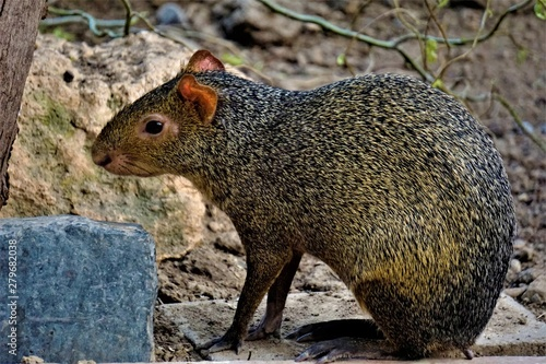 Agouti sitting in front of a bush and looking Canvas Print
