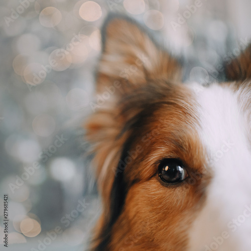 Border collie dog looking in the camera  Wall mural