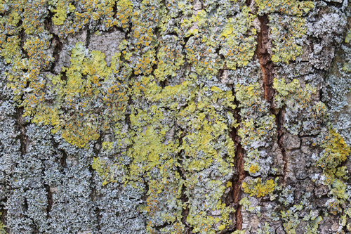 Xanthoria aureola lichen commonly known as Foliose, golden-yellow lichen, lackin Wallpaper Mural