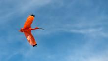 Scarlet Ibis, Eudocimus Ruber,...