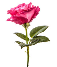 Rose Flower On Isolated White Background. Pink Rose Bud Isolate