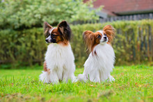 Outdoor Portrait Of A Papillon Purebreed Dogs On The Grass