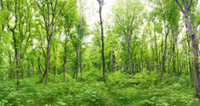Green Forest Landscape Panoram...