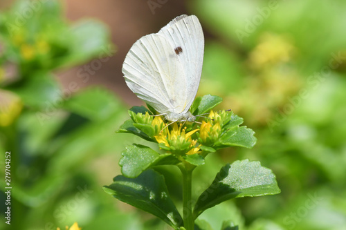 a male Cabbage White butterfly feeding on a Seedum flowe