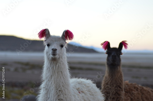 Cadres-photo bureau Lama Portrait of Bolivian llamas during a sunset in Salar de Uyuni
