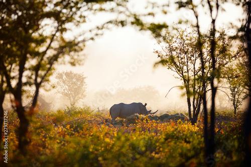 White rhino in safari park Slika na platnu