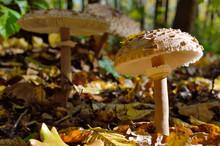 Mushrooms Growing In The Woods...