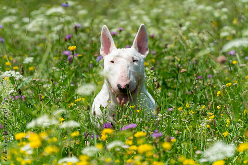 Foto Portrait photo of white bull terrier outdoors on a sunny day