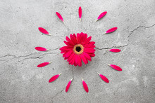 A Bright Red Gerbera Daisy Wit...