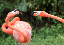 Two Pink Flamingos With White ...