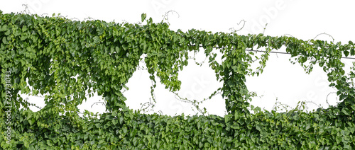 Fotografie, Obraz Plant vine green ivy leaves tropic hanging, climbing isolated on white background