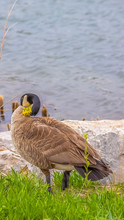 Vertical Tall Brown Duck Standing On The Grassy And Rocky Shore Of A Rippling Lake