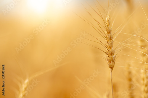Poster Pays d Europe Wheat crop field. Ears of golden wheat close up. Ripening ears of wheat field background. Rich harvest Concept.