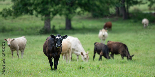 Photo  Banner black and white heifer with herd
