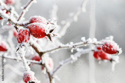 Frosted red rose hips in the garden Wallpaper Mural
