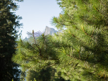 Coniferous Branches Of The Sib...